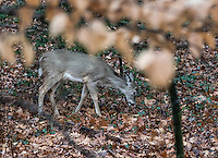 Deer foraging for food.