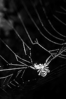 Spider in the Amazon Rainforest at night, Sacha Lodge, Coca, Ecuador, South America