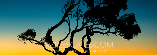 Native rimu tree silhouetted in sunset, Westland Tai Poutini National Park, UNESCO World Heritage Area, West Coast, New Zealand, NZ