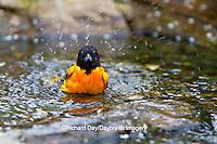 01611-08817 Baltimore Oriole (Icterus galbula) male bathing Marion Co., IL