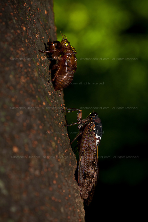 An adult Japanese Cicada (Tanna japonensis)  on a tree trunk below the empty shell of the larval stage from which it earlier emerged . Tokyo, Japan August 10th 2009