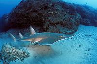 whitespotted shovelnose ray or guitarfish, Rhynchobatus djiddensis, Manta Bommie, N. Stradbroke Island, near Brisbane, Queensland, Australia