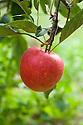 Apple 'Katja' ('Katy'), late September. A dessert apple originally from Sweden. Average flavour but a useful early-season apple for cool, northern regions. Best eaten soon after picking. Spur-bearer.