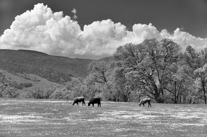 Pasture with cattle and wildflowers. Bear Valley. California