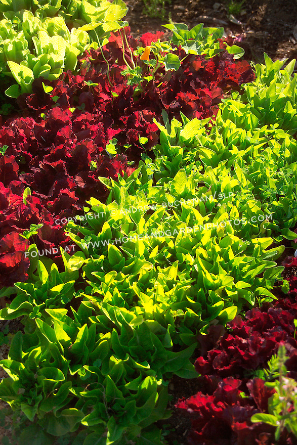 Detail of rows of red and green lettuces inside the organic kitchen garden of a cozy farmhouse on Vashon Island, just across Puget Sound from Seattle, Washington. Garden design by Stenn Design