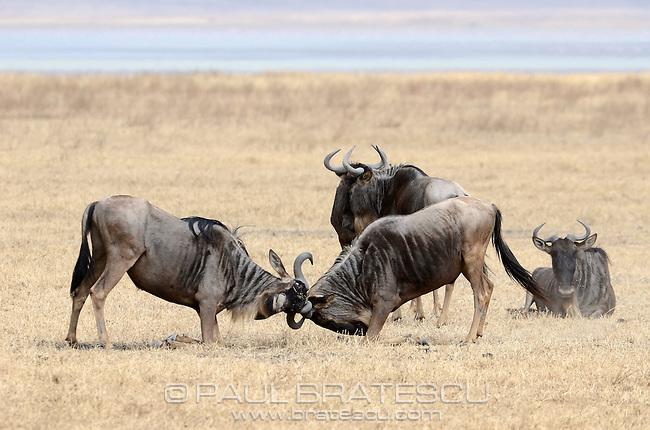 Blue Wildebeest or Gnu ( Connochaetes taurinus)Ngorongoro Crater Tanzania.