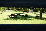 Angus cattle from the Black Grove Angus Farm in Newberry, South Carolina.