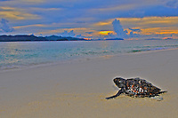 Turtle Hatchling Palawan at Sunset