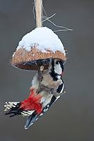 Buntspecht, Männchen an der Vogelfütterung, Fütterung im Winter bei Schnee, an mit Fettfutter gefüllten Hälfte einer Kokosnuss, Winterfütterung, Bunt-Specht Specht, Dendrocopos major, Great Spotted Woodpecker, Pic épeiche