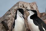 Nesting chinstrap pengiuns at Half Moon Island, South Shetland Islands, Southern Ocean, Antarctica