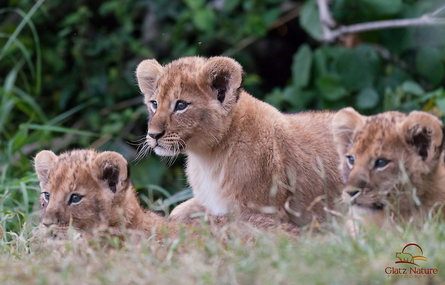 Ambitious Lion cub (Panthera leo) leads its siblings out of the brush as the sun sets over the Masai Mara