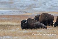 01985-02709 Bison (Bison bison) near Midway Geyser Basin Yellowstone National Park, WY