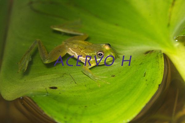 Esp&eacute;cie: Lysapsus laevis (Parker, 1935)<br /> Nome - ingl&ecirc;s: Guyana Harlequin Frog<br /> .<br /> .<br /> Esp&eacute;cie de perereca comum em reios da Amaz&ocirc;nia. Trata-se de uma esp&eacute;cie aqu&aacute;tica, podendo ser observadas sobre a vegera&ccedil;&atilde;o flutuante em rios, &aacute;reas alag&aacute;veis e po&ccedil;as tempor&aacute;rias. <br /> .<br /> Imagem feita em 2017 durante expedi&ccedil;&atilde;o cient&iacute;fica para a regi&atilde;o do Lago Tef&eacute;, Tef&eacute;, Amazonas, Brasil. A expedi&ccedil;&atilde;o, financiada pelo  Conselho Nacional de Desenvolvimento Cient&iacute;fico e Tecnol&oacute;gico, teve o abjetivo de reencontrar esp&eacute;cies de anf&iacute;bios descritas pelo explorador Johann Baptist von Spix no ano de 1824.