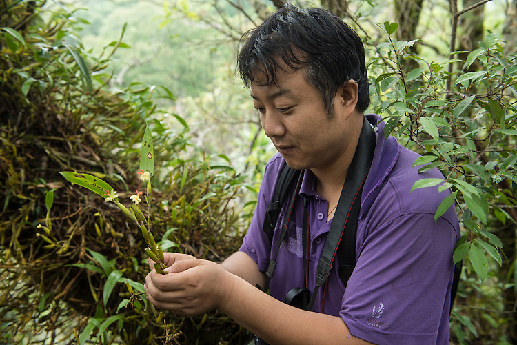 Liu Qiang (holding flowering Flickingeria calocephala) at Yin Chang, one of the hugely biodiverse limestone karst rainforest remanants in Xishuangbanna China, as part of a survery by team members of XTBG. In just one day in this newly explored site 23 orchid species were recorded. This included many flowering examples of Flickingeria calocephala, a species that flowers only one day per year. Group leader, Liu QIANG, had never before seen this species flower in his 10 years study of this regions orchids.