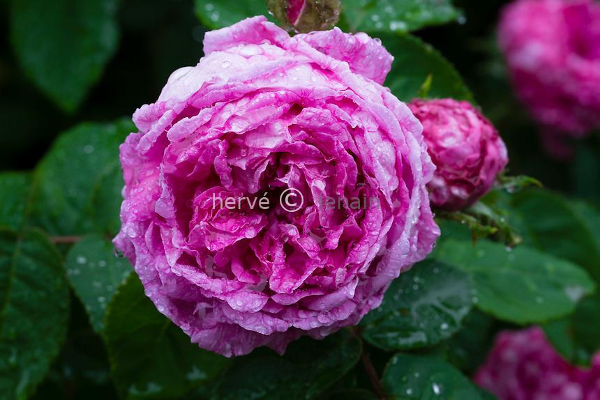 Rose 'Marie de Blois'