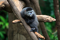 A Blue Monkey (Cercopithecus mitis) at Omaha's Henry Doorly Zoo in Omaha, Nebraska on August 11, 2010.