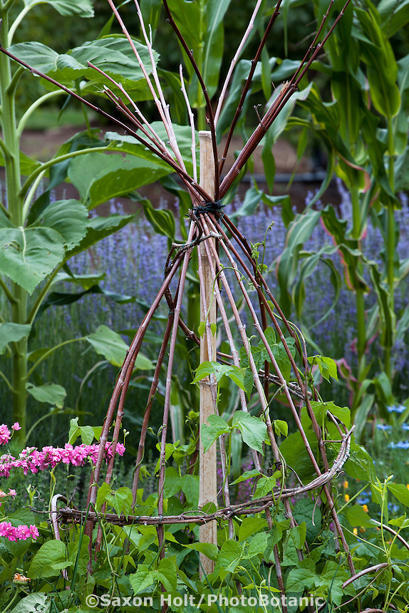 Rustic, bamboo and twig branch A-frame tuteur, trellis support for beans in edible landscape garden with vegetables and flowers in California garden