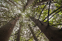Looking up into the canopy of cedar trees near Meaford, Ontario.
