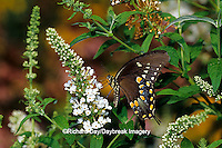 03029-00418 Spicebush Swallowtail butterfly (Papilio troilus) on Butterfly Bush (Buddleia davidii), Marion Co.  IL