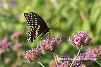 03009-01913 Black Swallowtail (Papilio polyxenes) male on Brazilian Verbena (Verbena bonariensis) Marion Co. IL