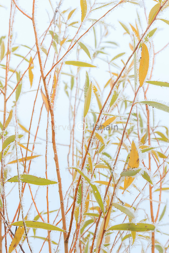 givre sur feuilles saule blanc, Salix alba // frost on leaves of white willow