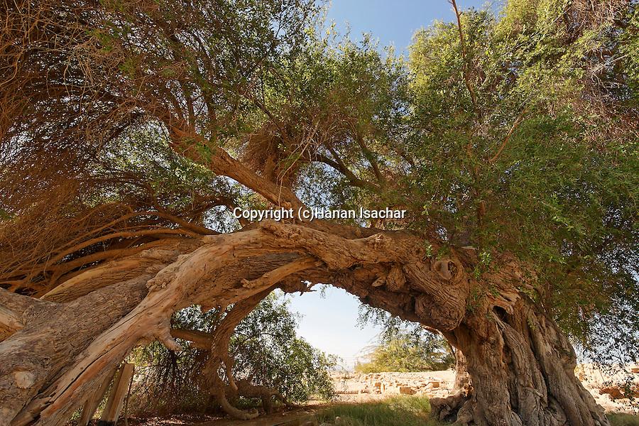 Israel, the Arava region. Jujube tree in Ein Hatzeva