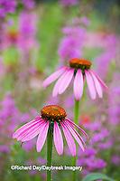 63821-22913 Purple Coneflowers (Echinacea purpurea) Marion Co., IL