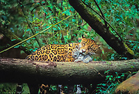 jaguar, Panthera onca, adult, female, mother, carrying cub in its mouth