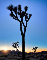 Silhouetted Joshua trees and sunset. Joshua Tree National Park. California