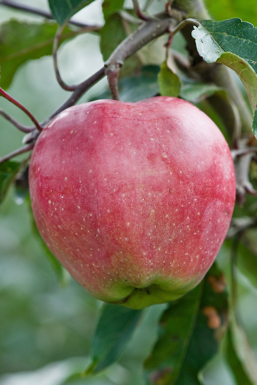 Apple 'Gloster', early September. A German dessert apple raised near Hamburg in 1951. Widely grown in northern Europe, Poland, Austria, Switzerland, and norther Italy.