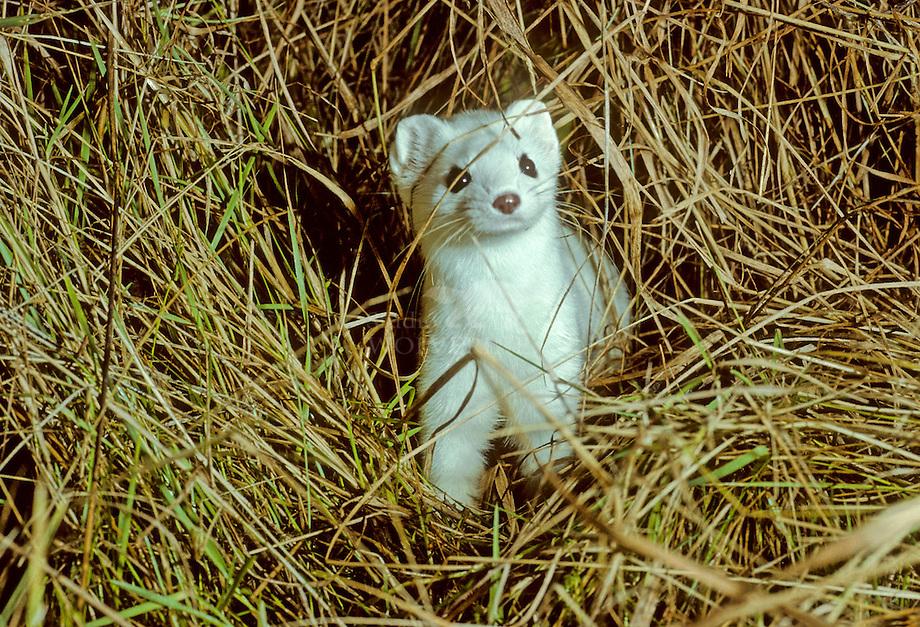 Hermelijn (Mustela erminea) in witte wintervacht. .