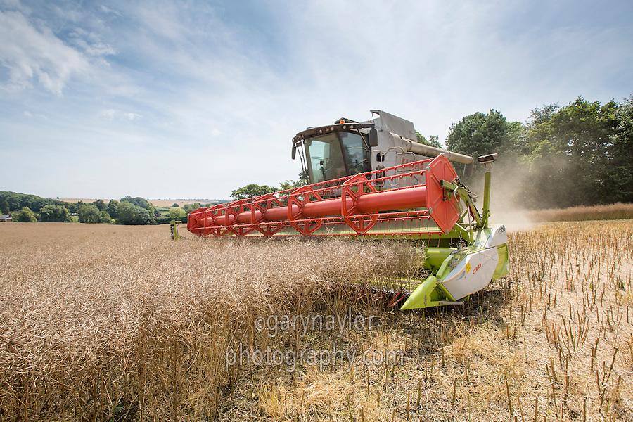 Harvesting oil seed rape with Claas lexion 750 Montana combine - Lincolnshire Wolds, July