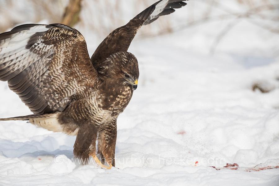 Mäusebussard, im Schnee, Winter, Mäuse-Bussard, Bussard, Buteo buteo, common buzzard, buzzard, snow, La Buse variable