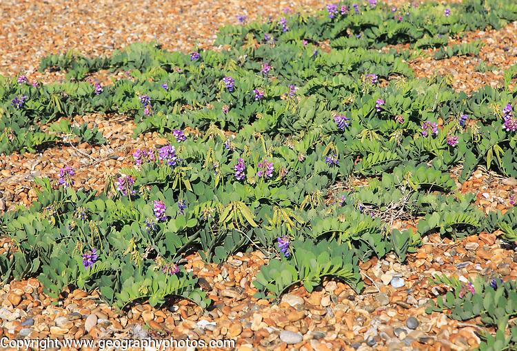 Sea Pea plant, Lathyrus japonicus, growing on beach at Shingle Street, Suffolk, England, UK
