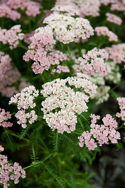 Achillea 'Gloria Jean', early July.