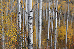 A stand of aspen trees at the peak of autumn along highway 133 in Colorado, USA