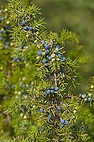 Gemeiner Wacholder, Heide-Wacholder, Heidewacholder, Wacholderbeeren, Juniperus communis, Common Juniper