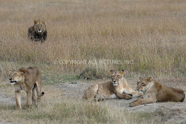 WWW.ACEPIXS.COM<br /> February 29, 2016 New York City<br /> <br /> Lions seen in Sweetwaters Game Reserve Ol Pejeta Conservancy on February 29, 2016 in Kenya.<br /> <br /> Credit: Kristin Callahan<br /> web: http://www.acepixs.com