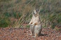 White-tailed Prairie Dog, Colorado