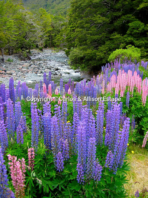 Lupine field and creek, New Zealand