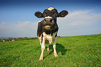 Holstein dairy cow in a field with sky...Copyright..John Eveson, Dinkling Green Farm, Whitewell, Clitheroe, Lancashire. BB7 3BN.01995 61280. 07973 482705.j.r.eveson@btinternet.com.www.johneveson.com