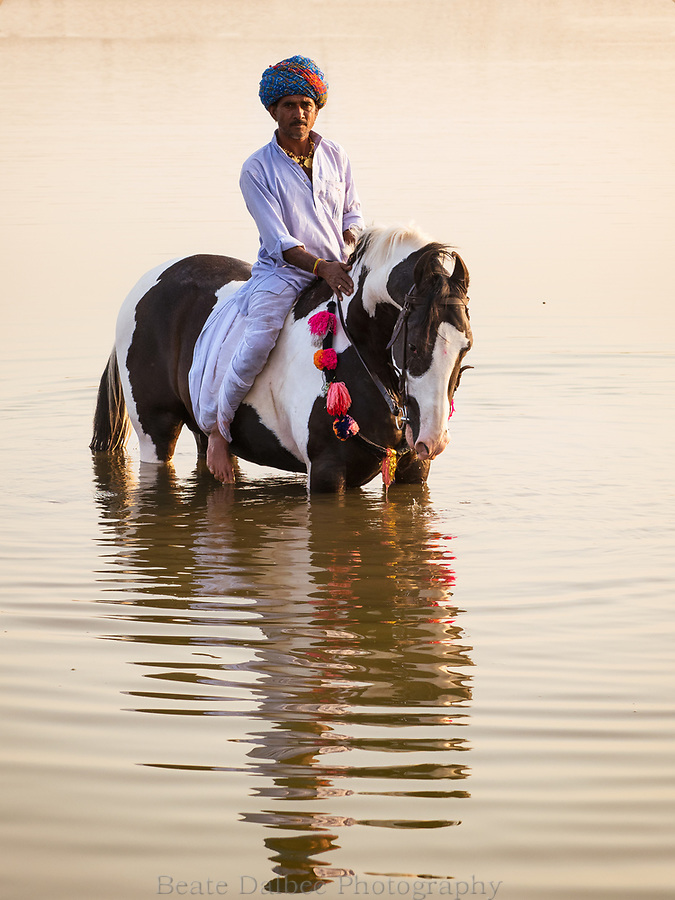 Paint Marwari stallion in a lake at sunset