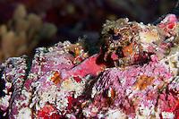 reef stonefish - synanceia verrucosa, Komodo national park, Indonesia june 2011