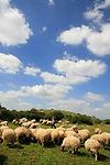 Israel, Shephelah, a flock of sheep in Park Adulam
