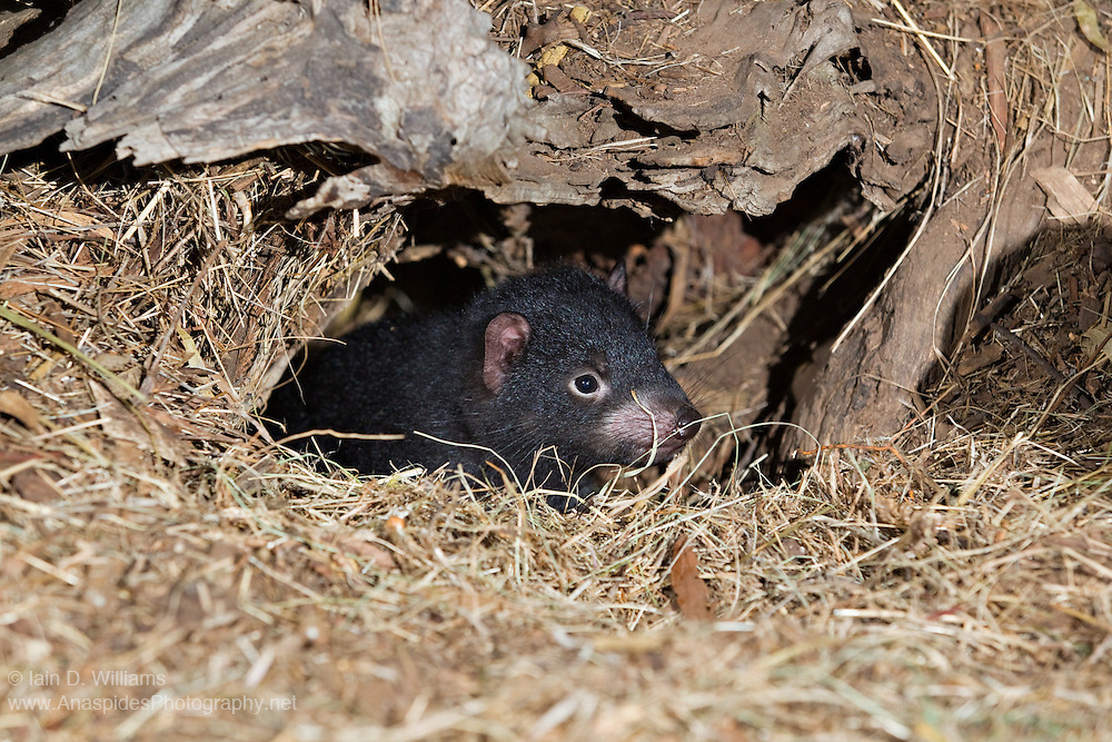 The Tasmanian Devil (Sarcophilus harrisii) is a nocturnal ...
