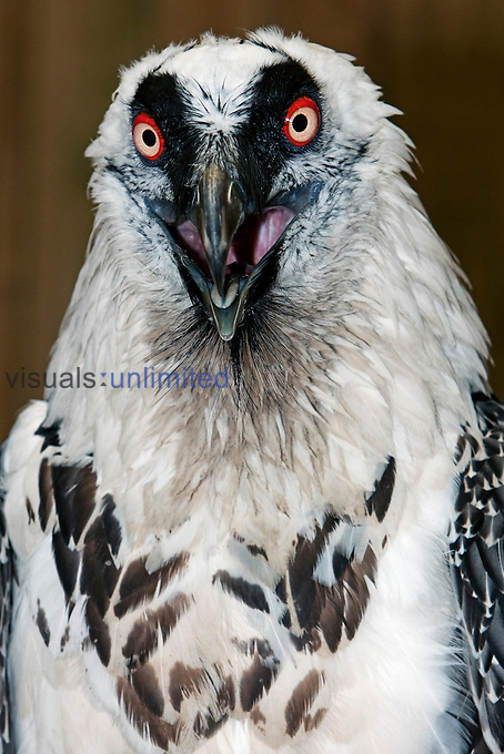 Lammergeir or Bearded Vulture head (Gypaetus barbatus).