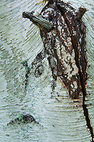 Bark Abstract, Sheep Island, Castine, Maine, US