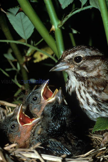 Song Sparrow with young in the nest (Melospiza melodia), North America.