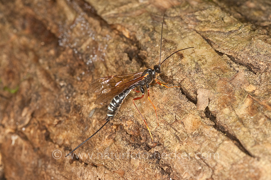 Schlupfwespe, Weibchen, Coleocentrus excitator, parasitoid wasp, Acaenitinae