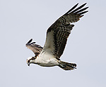 Osprey.Pandion haliaetus.in flight at Viera Wetlands Viera Florida, February 27, 2008. Fitzroy Barrett